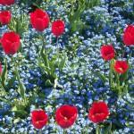 Fioritura di tulipani e nontiscordardimé al